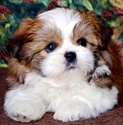 Shih Tzu Puppies For Sale In Indiana By Chicago Illinois Area Breeder