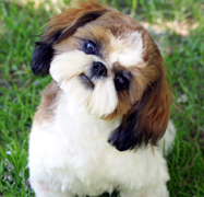 croaking toad shih tzu shih tzu puppies for sale in indiana by chicago illinois 3250