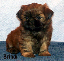 Shih Tzu puppies for sale  Past Shih Tzu puppies in