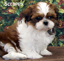 Shih Tzu Puppies For Sale Past Shih Tzu Puppies In Ohio Shih Tzu