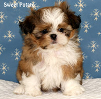 Shih Tzu Puppies For Sale Past Shih Tzu Puppies In Wisconsin Shih