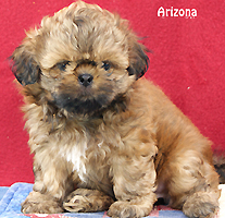 Shih Tzu Puppies For Sale Past Puppies In Arizona Shih Tzu Breeder
