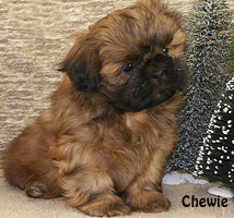 Shih Tzu Puppies For Sale In Indiana Shih Tzu Breeder In Indiana By