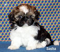 Shih Tzu Puppies For Sale Past Shih Tzu Puppies In Oklahoma Shih