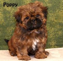 Shih Tzu Puppies For Sale Past Shih Tzu Puppies In Pennsylvania