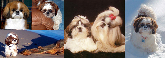 croaking toad shih tzu information about the shih tzu personality of the shih 4942