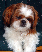 shih tzu for sale chicago shih tzu puppies for sale in indiana by chicago illinois 3080